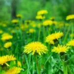Dandelion Weed Control the Hard Way, and the Easy Way