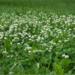 What's the Best Method for Managing Broadleaf Weed Control?