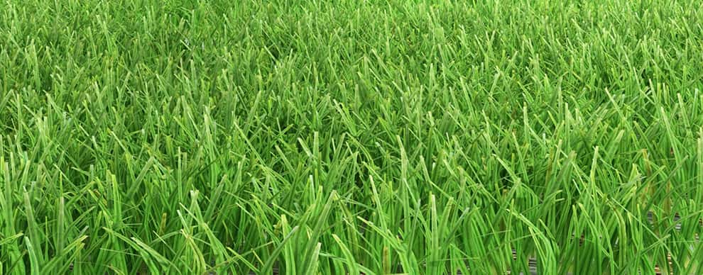 Is Zoysia Grass Weed Control Just Wishful Thinking